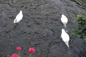 Swans in the Corrib.