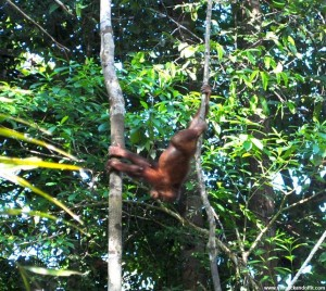 Borneo 908