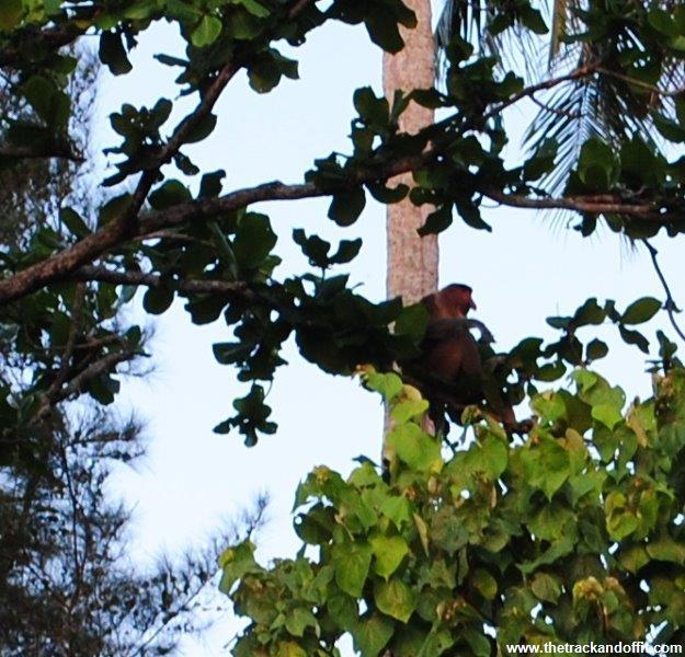 Borneo 1021a