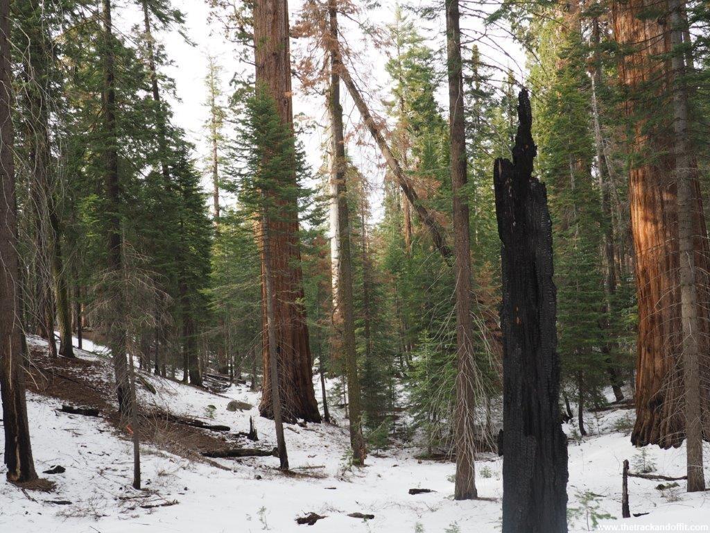 Sequoia 041