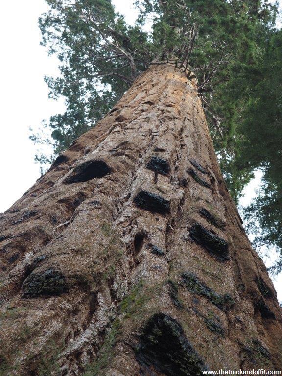 Sequoia 046