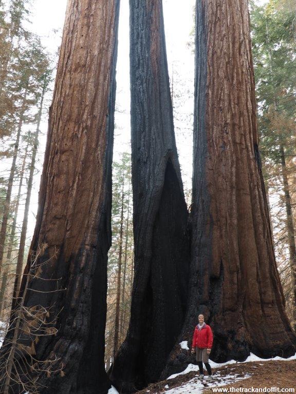 Sequoia 047